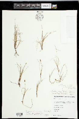 Image of Carex x langeana