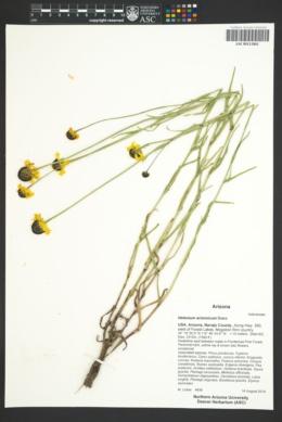 Helenium arizonicum image