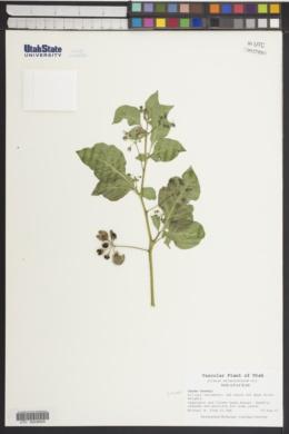 Solanum melanocerasum image