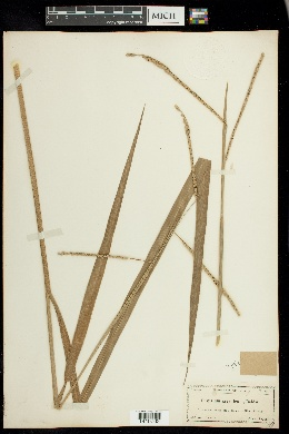 Paspalum giganteum image