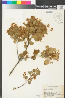 Prunus ilicifolia var. ilicifolia image
