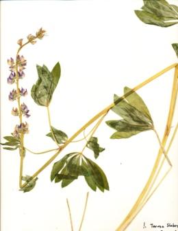 Lupinus polyphyllus var. burkei image