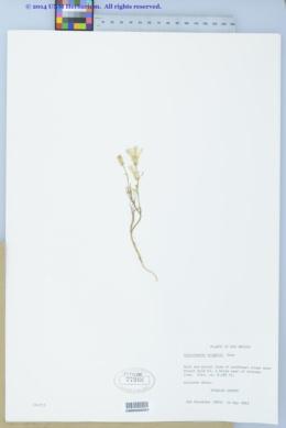 Calycoseris wrightii image