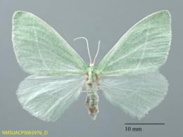 Chlorosea nevadaria image