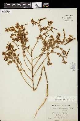 Lotus unifoliolatus var. unifoliolatus image
