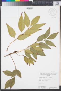 Image of Fraxinus uhdei