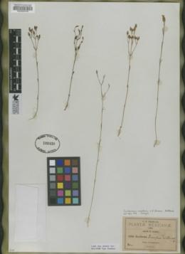 Centaurium martinii image