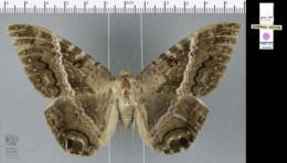 Ascalapha odorata image
