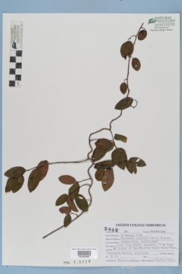 Berchemia scandens image