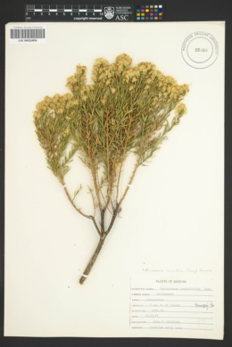 Ericameria laricifolia image