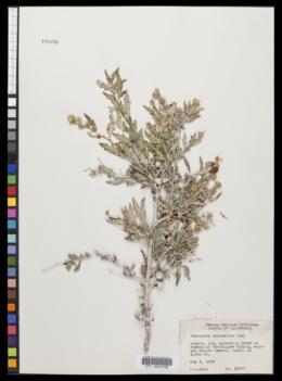 Ambrosia eriocentra image
