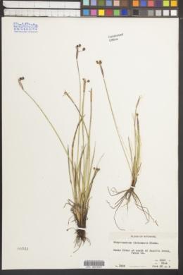 Sisyrinchium idahoense image