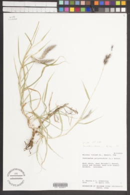Pennisetum polystachion image