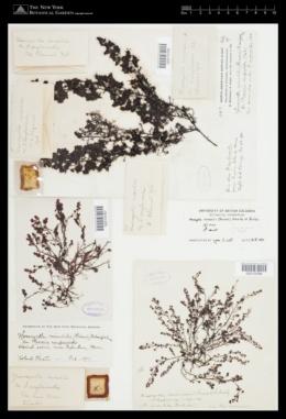 Halymenia mirabilis image