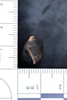 Anculosa carinata image