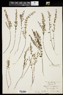 Image of Scutellaria leonardii