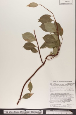 Image of Lysimachia waianaeensis