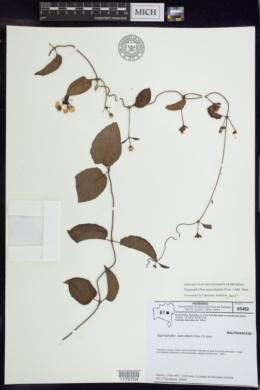 Image of Stigmaphyllon auriculatum
