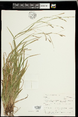 Carex sylvatica image