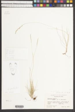 Image of Festuca groenlandica