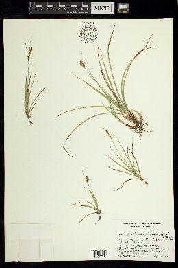 Image of Carex angustispica