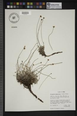 Eriogonum panguicense image