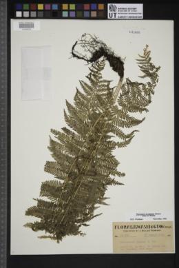 Parathelypteris nevadensis image