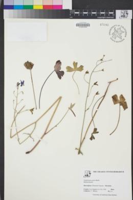 Image of Delphinium patens