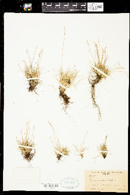 Image of Festuca supina