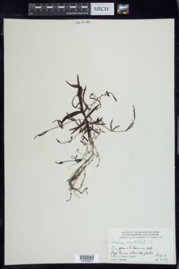 Veronica scutellata image