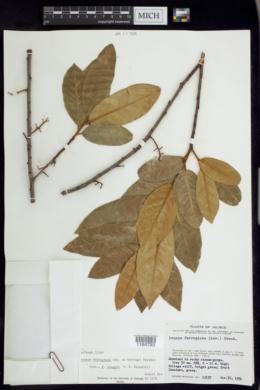 Image of Prunus ferruginea