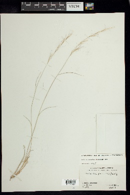 Aristida purpurea image