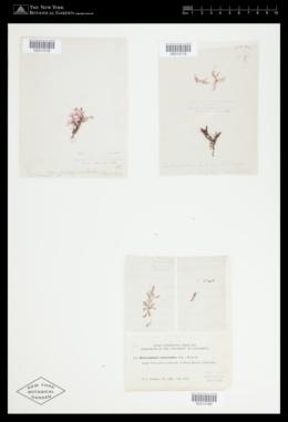 Heterosiphonia subsecundata image