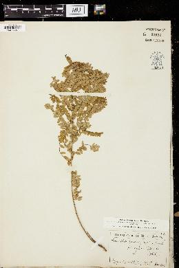 Amorpha microphylla image