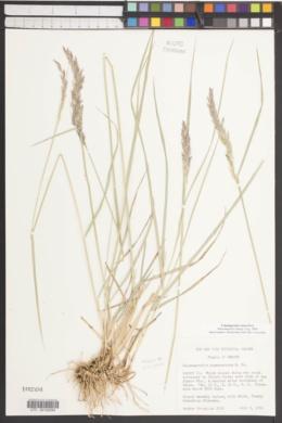 Image of Calamagrostis vaseyi