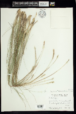 Elionurus ciliaris image