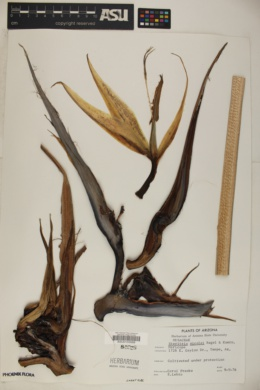 Strelitzia nicolai image