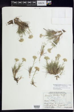 Eremogone hookeri var. pinetorum image
