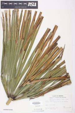 Trachycarpus fortunei image