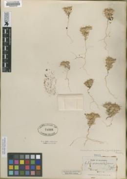 Image of Gilia arenicola
