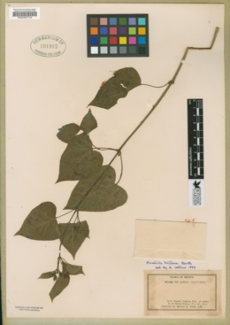 Mirabilis triflora image