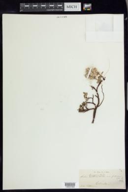 Salix breweri image