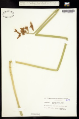 Image of Schoenoplectus lacustris