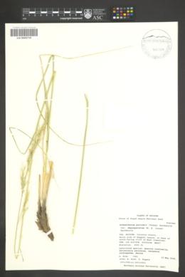 Achnatherum parishii image