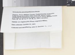 Ochrolechia pseudopallescens image