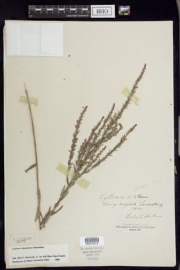Lythrum dacotanum image
