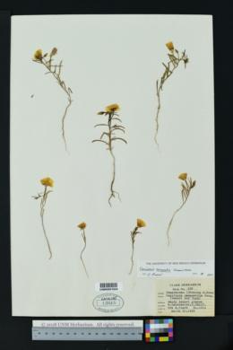 Image of Camissonia campestris
