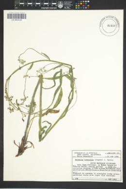 Image of Hackelia brevicula