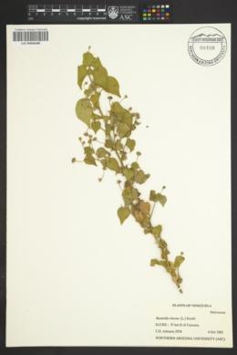 Image of Bastardia viscosa