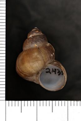 Image of Viviparus subpurpureus